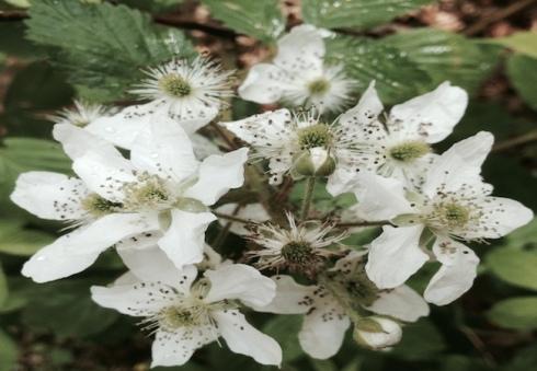 Blackberry blooms copy