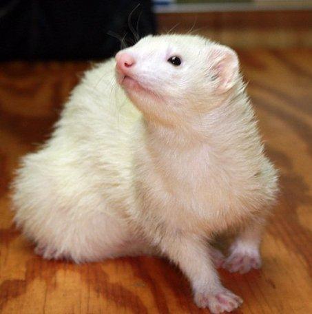 DiVoran White Ferret