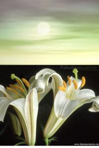Sunlight lillies