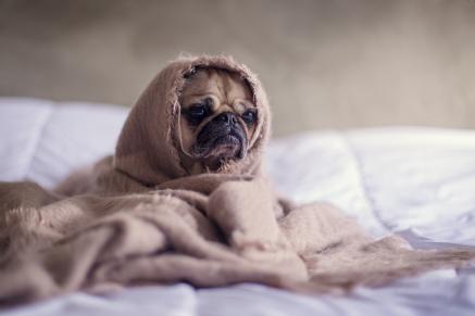 Sad dog under covers