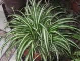 Spider Plant courtesy of wikipedia