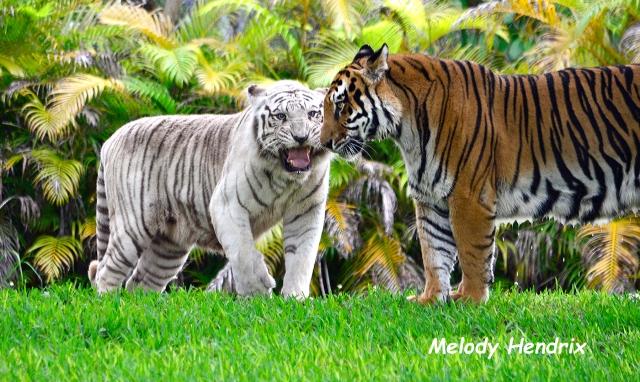 tigers-1932-jpg-2
