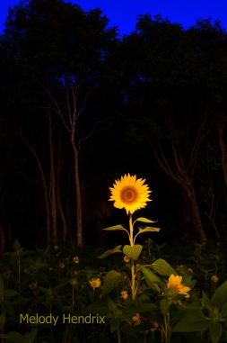 light-painted-sunflower