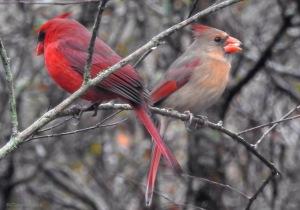 cardinal-pair-copy