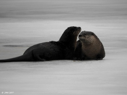 otter-love-on-ice