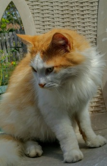 cat orange and white
