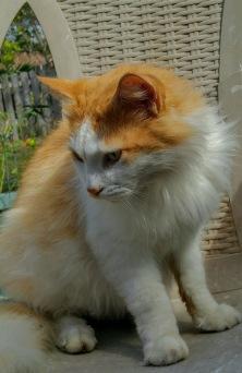 cat orange and white