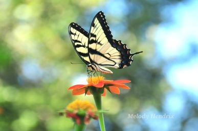 florida butterflies eastern tiger swallowtail old things r new