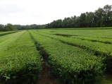 Rowes of Tea Bushes 10-9-18