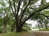 Sprawling Oak tree 10-9-18