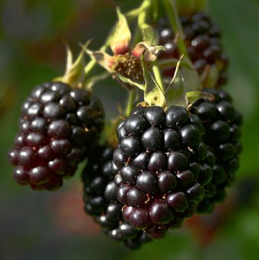 Blackberry, Berries, Fruit, Bush